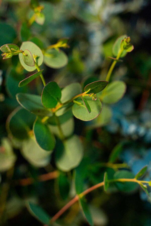 Eucalyptus Gunnii (Eucalipt Talisman)