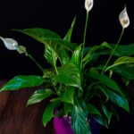 Spathiphyllum + Vas ceramica