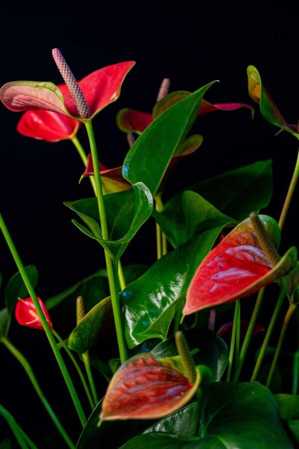 Anthurium Red Regal