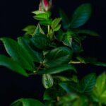 Trandafir Pom