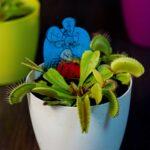 Plante carnivore Dionaea muscipula