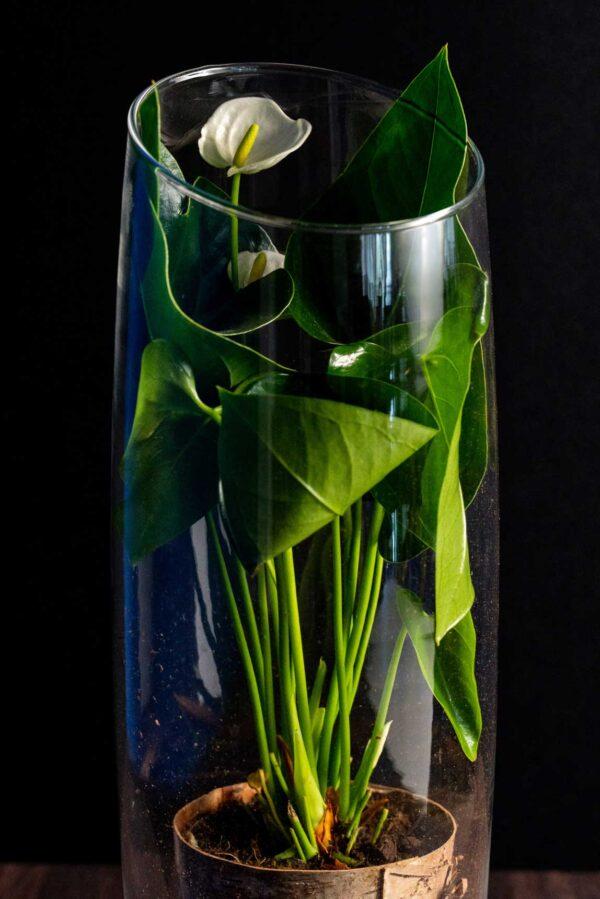 Anthurium PureLove in Vas de sticla Deluxe