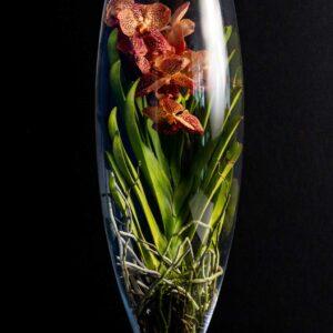 Orhidee Spectaculoasa Vanda Brown in Vas de sticla PREMIUM