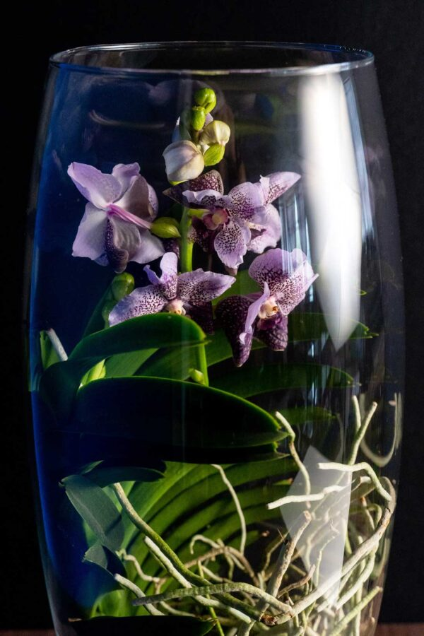 Orhidee Spectaculoasa VANDA FadeLila in Vas de sticla PREMIUM