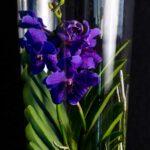 Orhidee Spectaculoasa VANDA DarkBlue in Vas de sticla PREMIUM